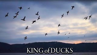 LIMITS of CANVASBACKS (Mississippi River duck hunt)