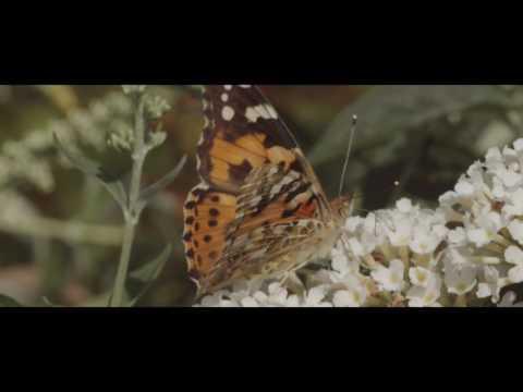 Hoe snoei en onderhoud je een Buddleja of vlinderstruik?