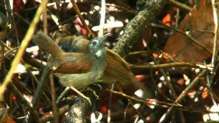 Chestnut Winged Babbler Wmv