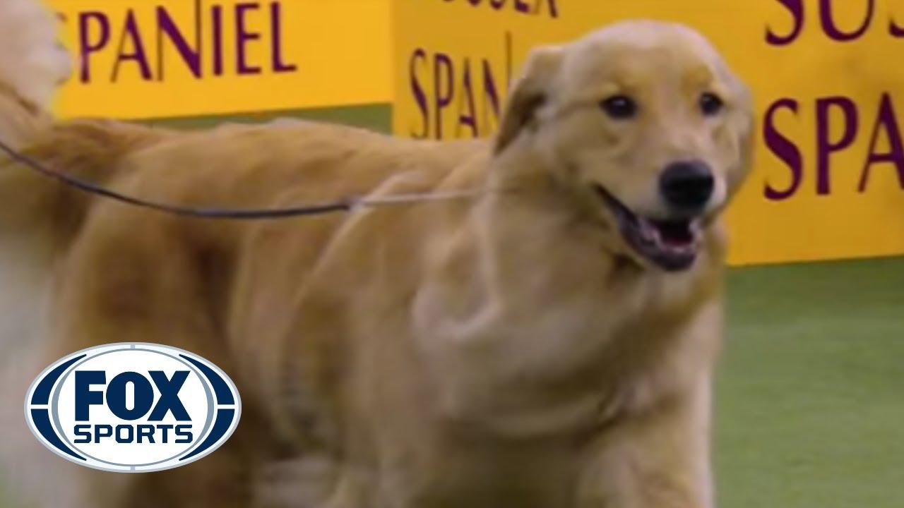Golden retriever dog show 2019