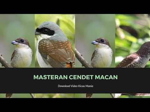 Masteran Suara Burung Cendet Full Isian Durasi Panjang Mp3| Masteran Cendet Macan