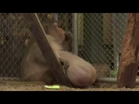 Morbidly obese monkey put on strict no-junk-food diet