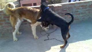 Saint Bernard Fight With Rottweiler