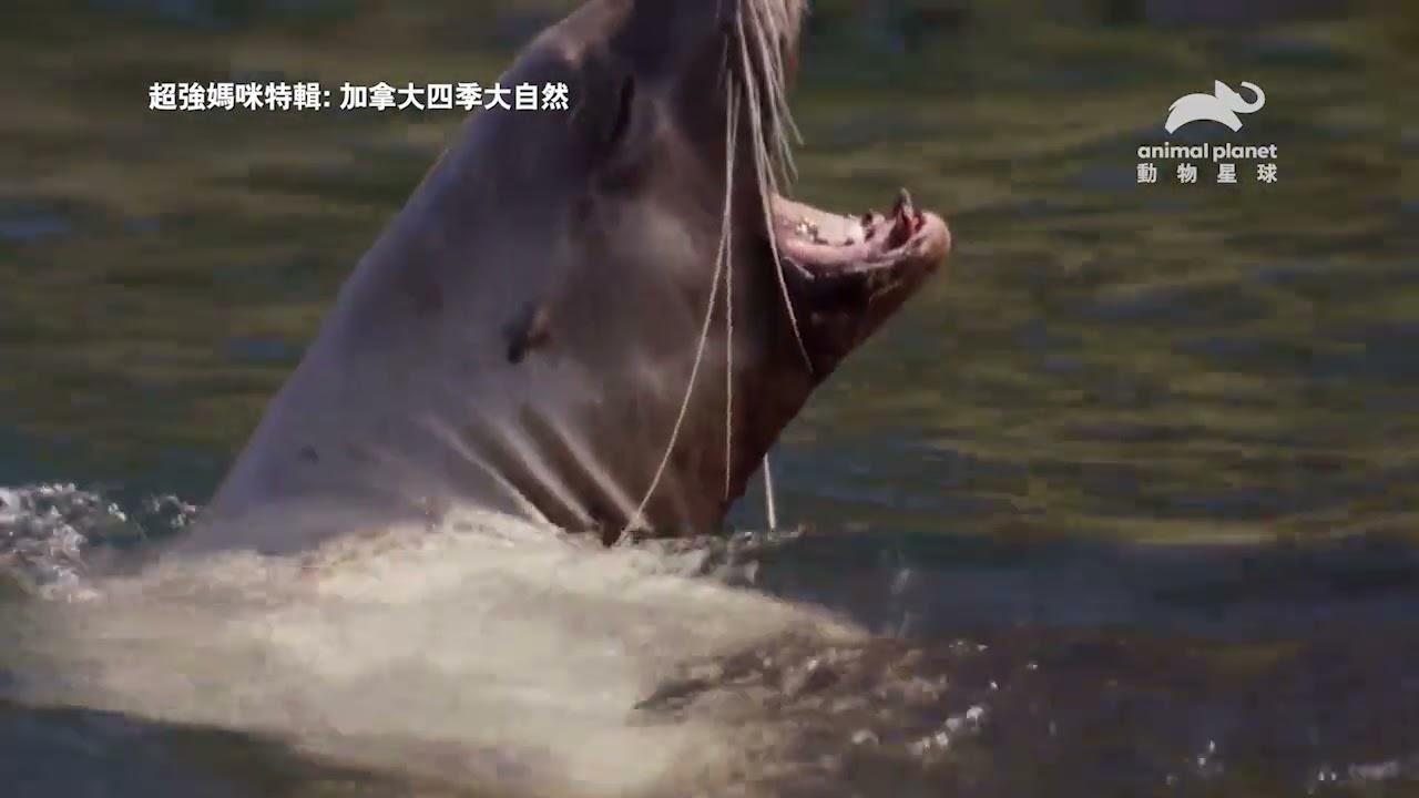 為了從虎鯨嘴中守護小寶寶,海獅媽媽大聲嘶吼 動物星球頻道