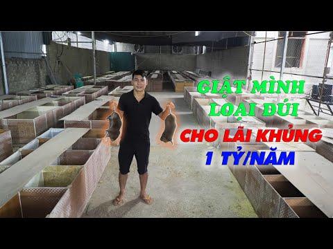 Ưu nhược điểm của dúi mốc Việt Nam với dúi mốc đại Trung Quốc || Kinh nghiệm ghép đôi cho dúi