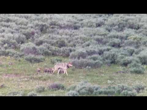 Yellowstone Wapiti Lake Pack Wolf 1091F and pups July 2017