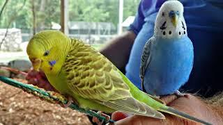 Часть: 1 Болезни волнистых попугаев и как с ними бороться // как выглядит больной попугай?