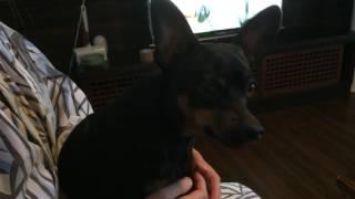 """怒り犬"""" 変な声で威嚇するミニチュアピンシャー https://www.youtube.co..."""