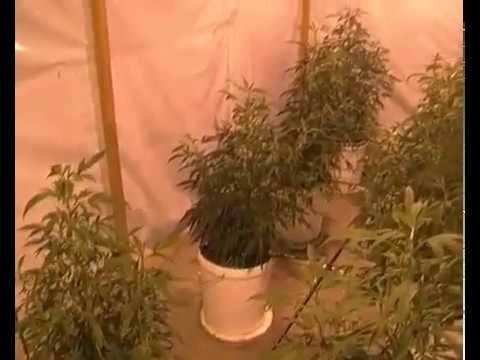Теплица для конопли своими руками марихуану купить в тюмени