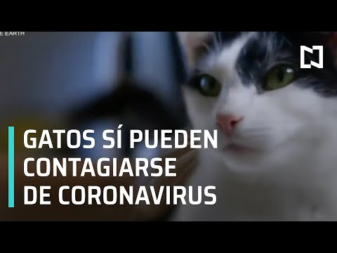 Coronavirus En Gatos L Las Mascotas Pueden Contagiarse De Coronavirus - Las Noticias
