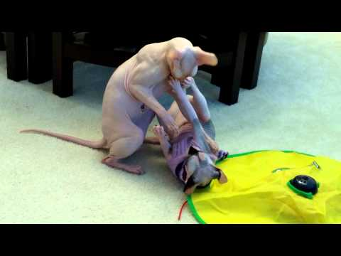 Two sphynx cats fighting