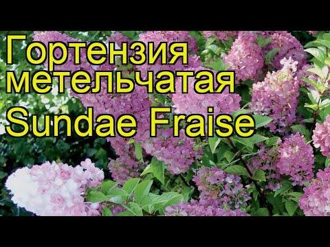 Гортензия метельчатая Sundae Fraise. Краткий обзор, описание характеристик