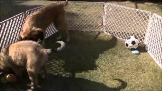 レオンベルガーや超大型犬の情報はこちらから http://www.masaki-collec...