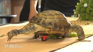 Schildkröte kann dank Mini-Reifen wieder laufen
