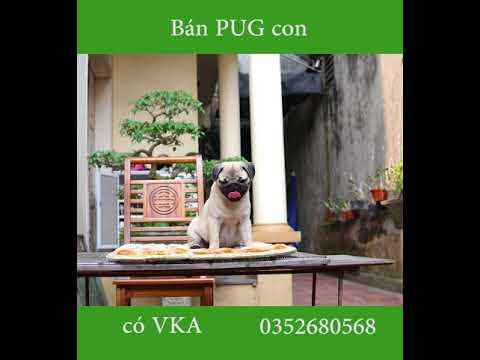 Bán Pug thuần chủng   Chó Pug   Quang Anh Pug VKA