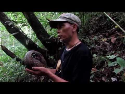 Sunda Pangolin Rescue and Release in Sumatra