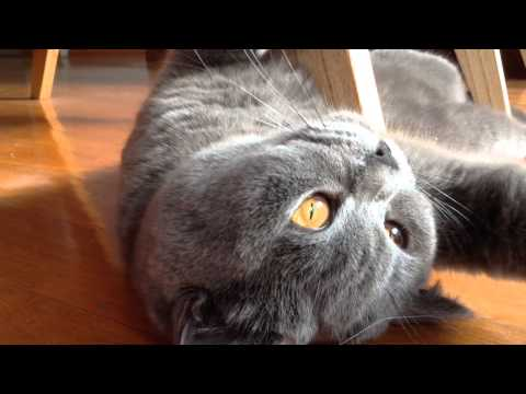Purring and purring, sweet Sookie (16 months old British Shorthair female cat)