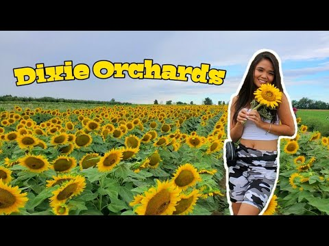 Sunflower Farm | Apple Picking | Corn Maze - Dixie Orchards, Ontario Canada