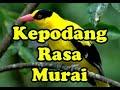 Kepodang Rasa Murai  Mp3 - Mp4 Download