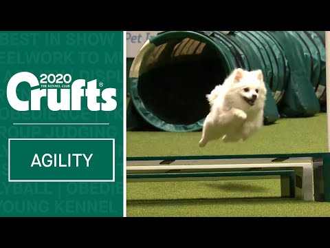 Watch Fling the German Spitz smash the agility course | Crufts 2020