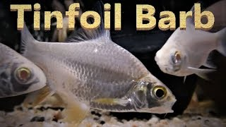 Tinfoil Barb Care & Tank Set up Guide