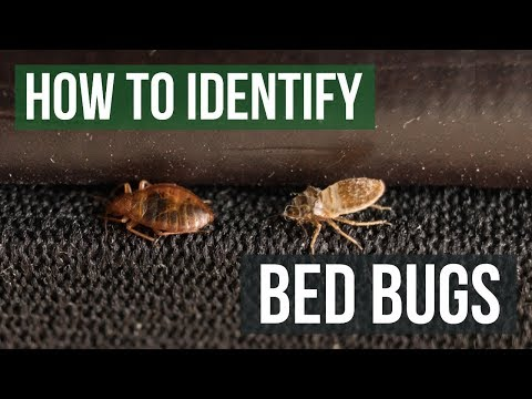 How to Identify Bed Bugs