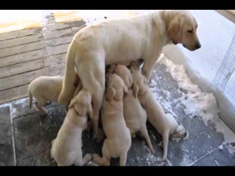 Lab Puppies 6 Weeks Old 2011 Feb 03