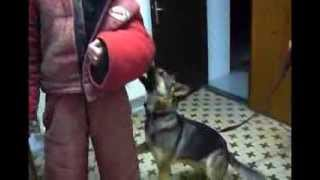 German Shepherd-malinois Mix Inside Training