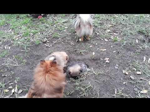 Toy Pom Pomeranian Mitzi's puppies