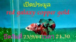 สงกรานต์  เปิดประมูลปลากัด Red  galaxy  copper  Gold ปิดประมูลวันที่ 23/9/64  เวลา  21.30