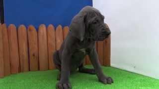 グレートデンの子犬です。 2013年3月12日生まれ 牝 ブルー グレートデン...