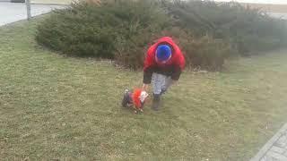 Моя собака мини чихуахуа Юля гуляет.