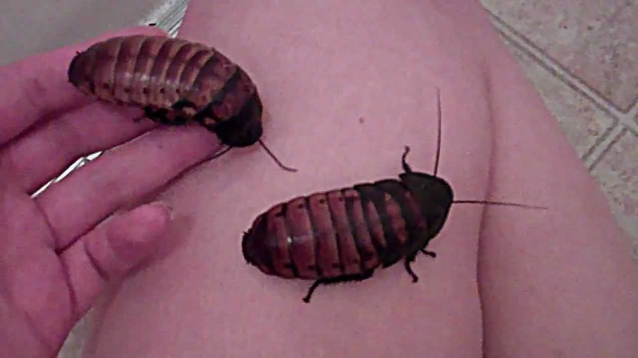 Screaming roaches