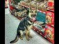 Eine Kuhne - 10mo old German Shepherd - Dog Training Omaha Nebraska, Board & Train Program