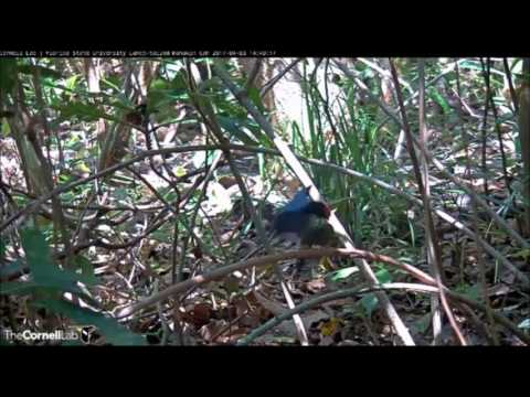 Lance-tailed Manakin courtship display April 3, 2017 Panama