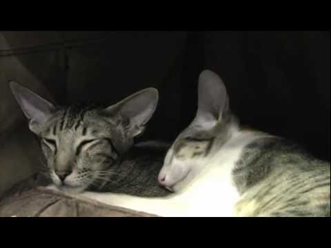 Oriental Kitten Give Kitty Cat Massage - So Sweet