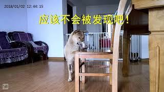 主人假装离开,美食考验中华田园犬,阿黄小白反应果然不出所料。发布中...