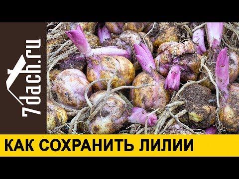 Как хранить луковицу лилии