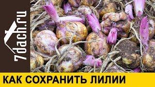 как сохранить луковицы лилии до посадки