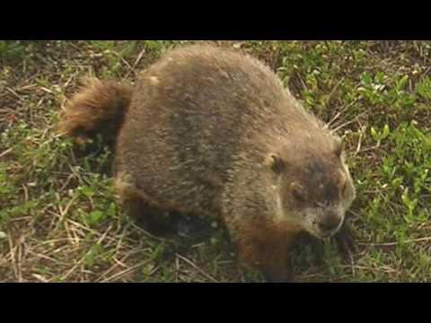 Видео The groundhog by richard eberhart essay