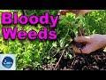 How to control STUBBORN Weeds - Creeping Cinquefoil