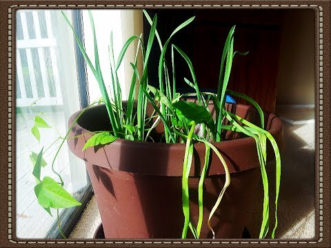 Growing Garlic Indoors Shy Plant Mimosa Pudica Update