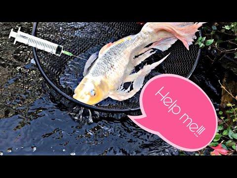DIY Medicating 2 HUUUGE Beautiful KOI!! Butterfly Koi And Standard Koi At A Koi Pond