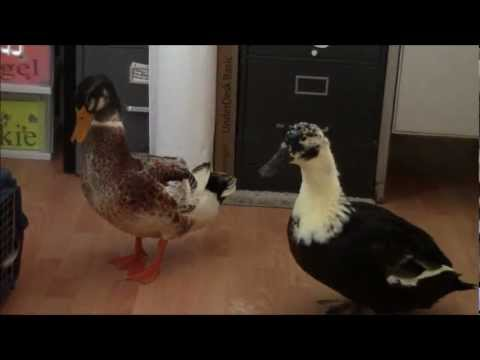 Rudy, Domestic Duck Helps With Food Prep and Meets a Friend   Nature