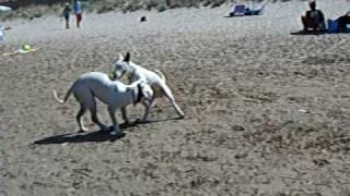 American Bulldog Vs. Bullterrier