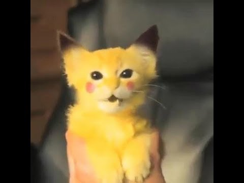 Amazing Pikachu Cat Electric Shock Boy Cute Pika Cat Youtube