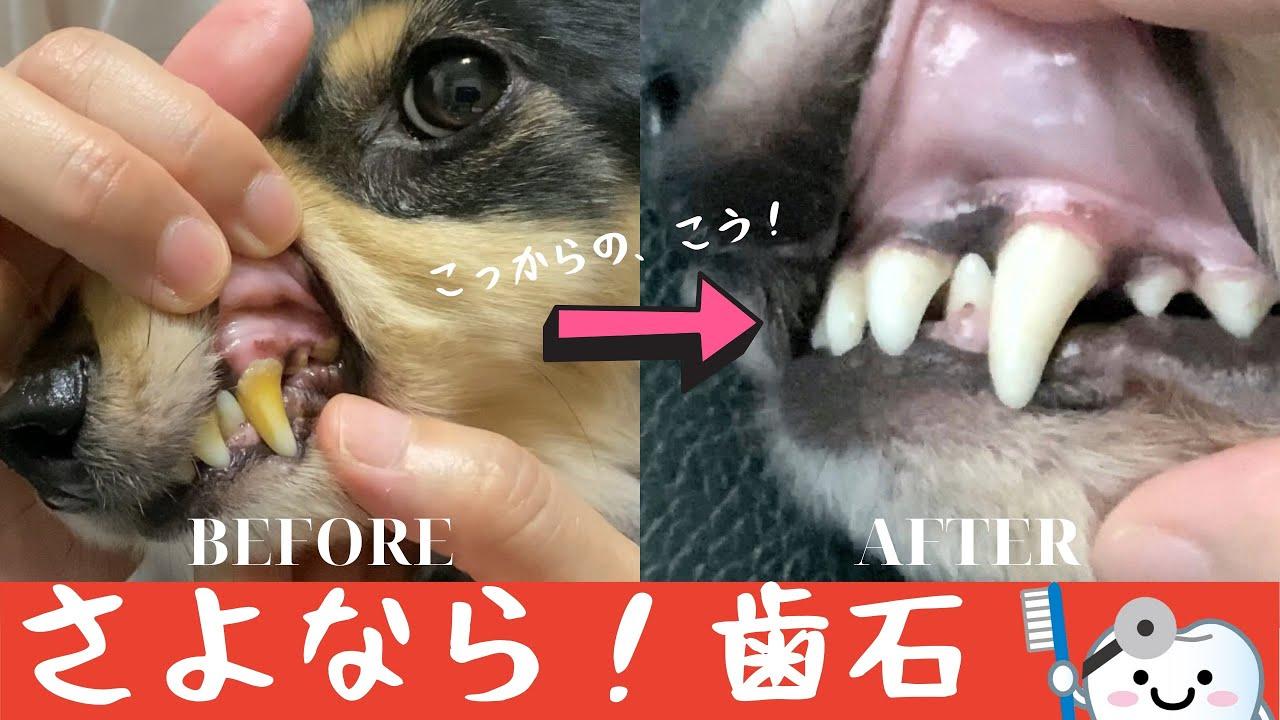 取り 犬 費用 歯石