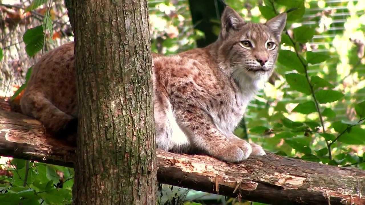 Dji Phantom 2 >> RYŚ euroazjatycki - Lynx - Zoo Łódź 2013 - YouTube