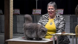 CFA International Cat Show 2017 - blue-cream Persian kitten