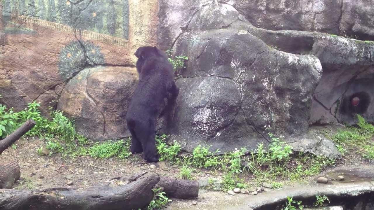 臺灣黑熊 (木柵動物園) - YouTube